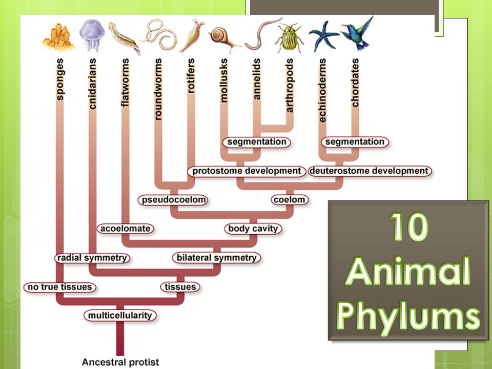 animal phylums An animal phylum (plural: phyla) is a high-level taxonomic group, describing a group of species sharing a phylogenetic relationship based on common ancestry animal phyla are also traditionally defined by the fact that all members of the phylum share a number of distinct morphological features, which are known as the body plan of that phylum.