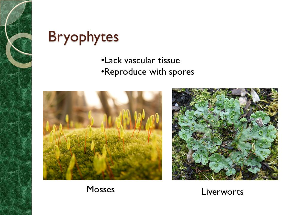 Chapter 29 Seedless Plants: Bryophytes and Ferns - ppt ...