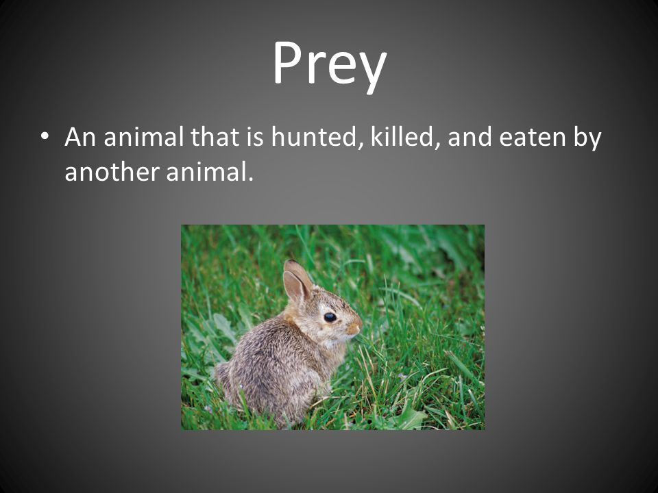 Prey An animal that is hunted, killed, and eaten by another animal.