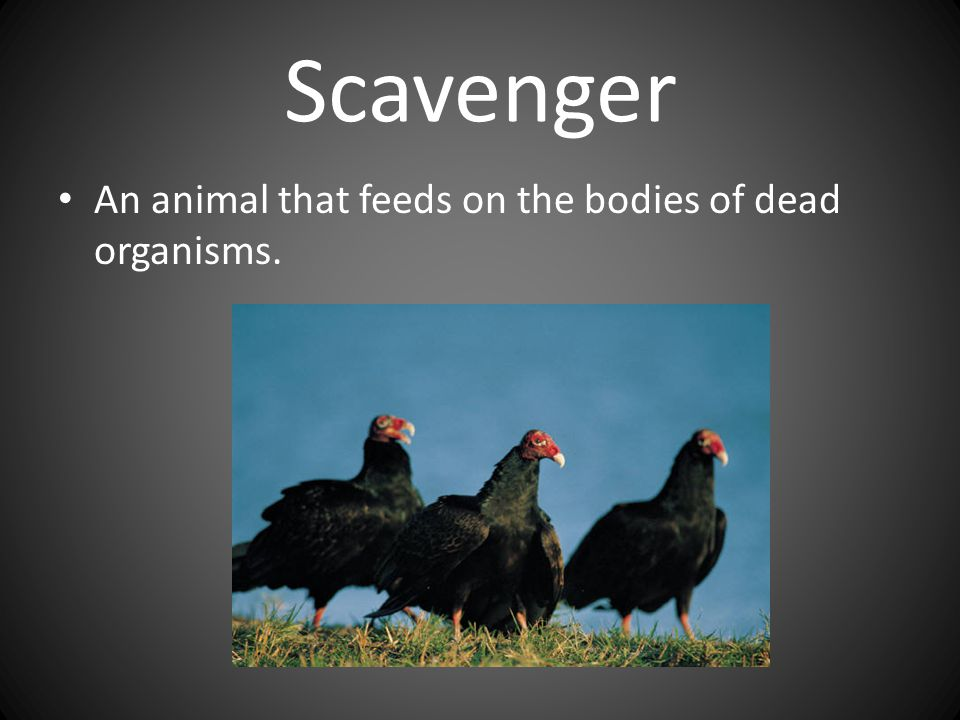 Scavenger An animal that feeds on the bodies of dead organisms.
