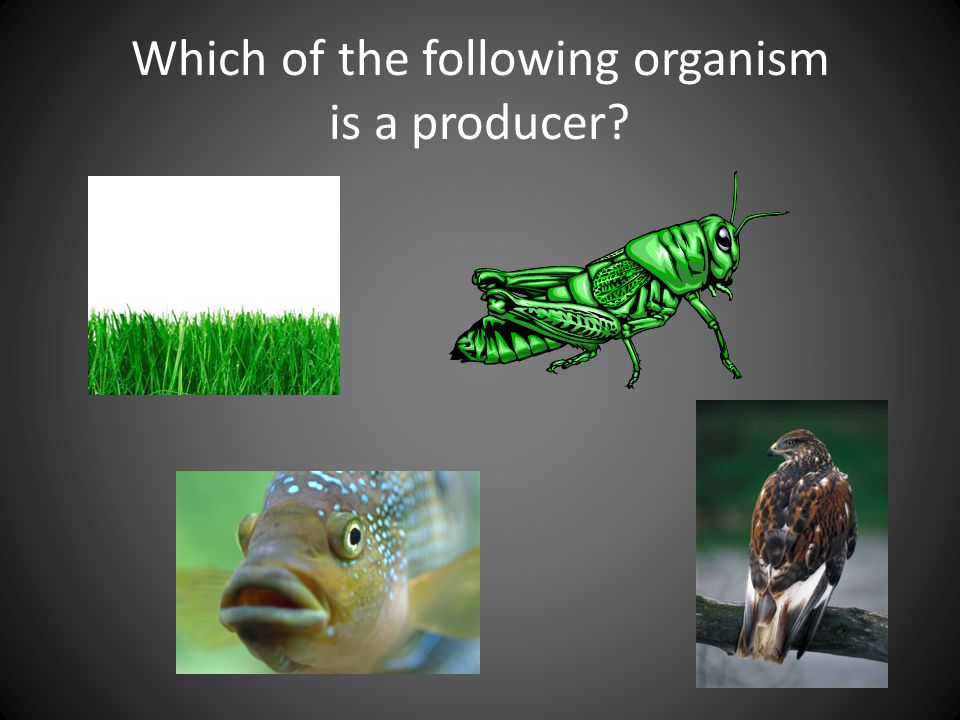 Which of the following organism is a producer