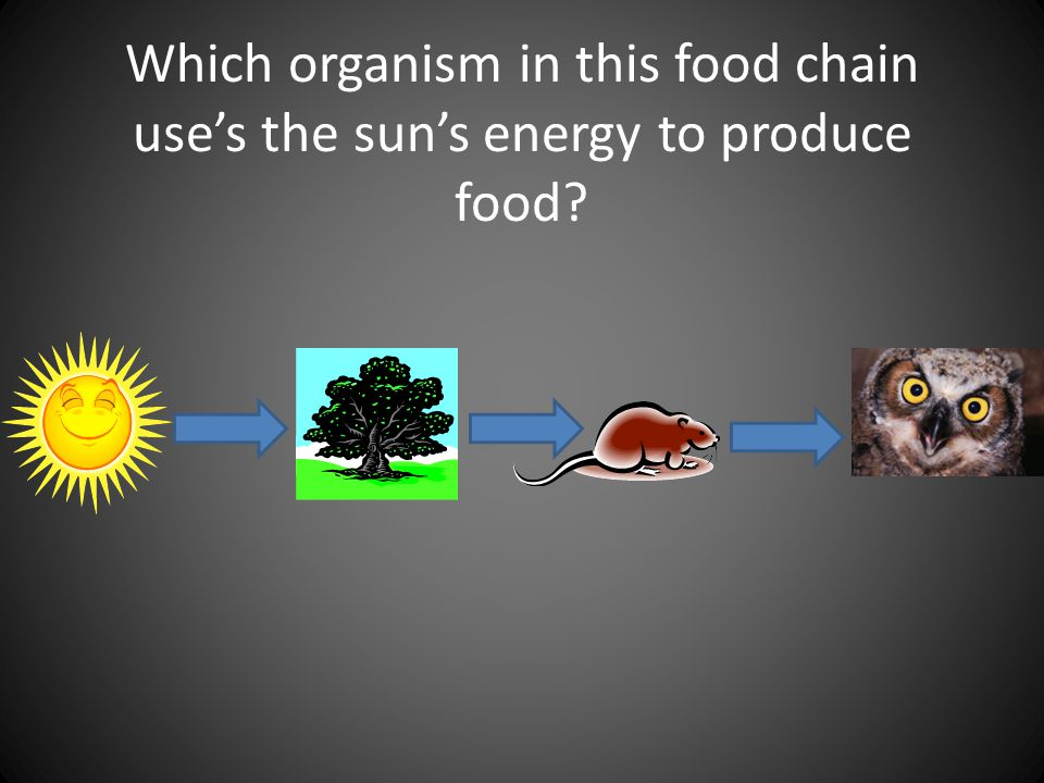 Which organism in this food chain use's the sun's energy to produce food