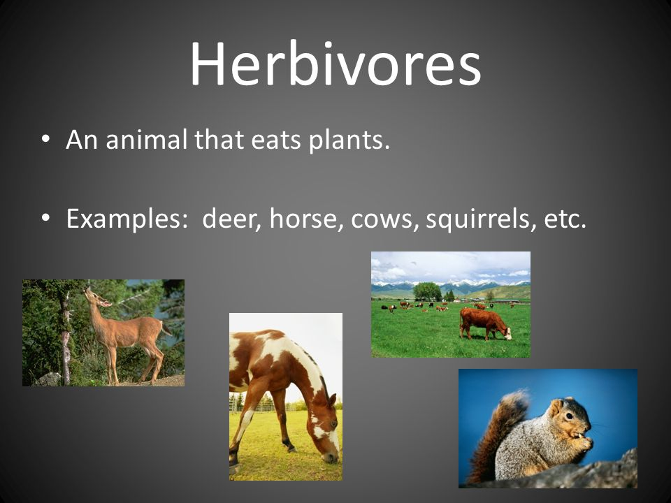 Herbivores An animal that eats plants.