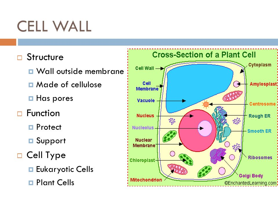 CELL WALL Structure Function Cell Type Wall outside membrane