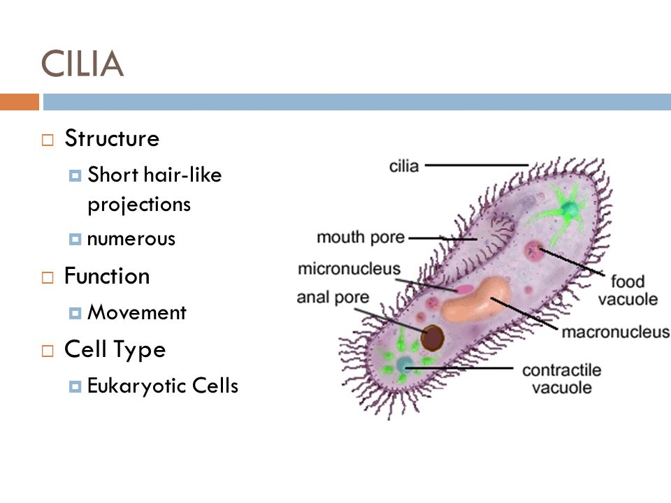 CILIA Structure Function Cell Type Short hair-like projections