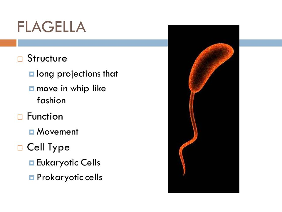 FLAGELLA Structure Function Cell Type long projections that