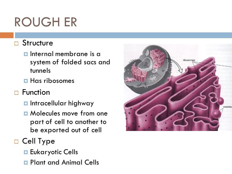 ROUGH ER Structure Function Cell Type