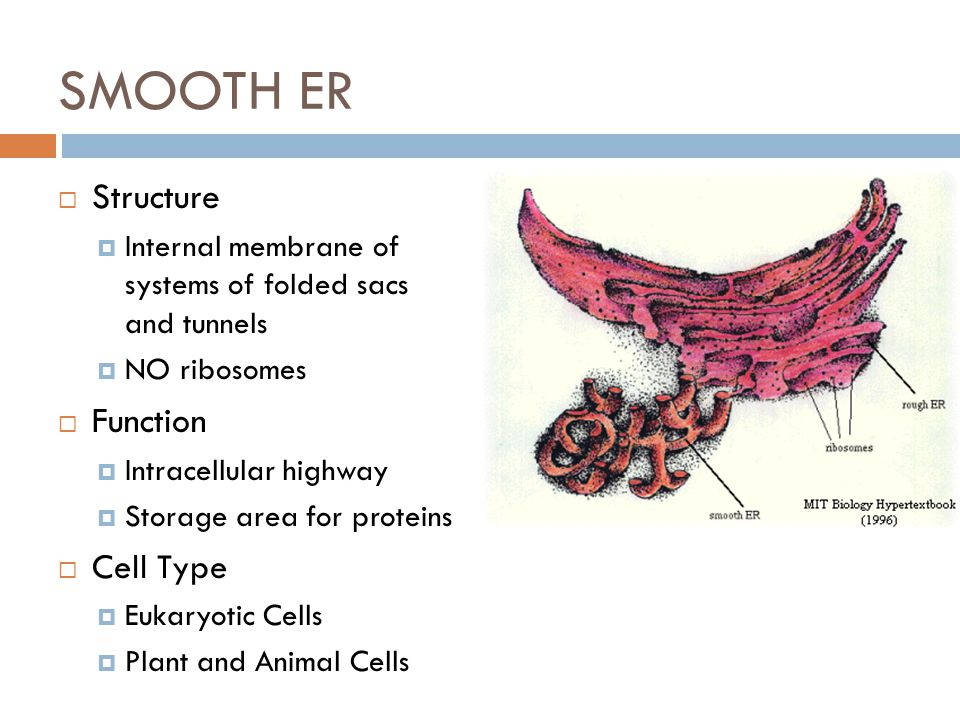 SMOOTH ER Structure Function Cell Type