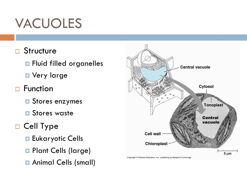 VACUOLES Structure Function Cell Type Fluid filled organelles