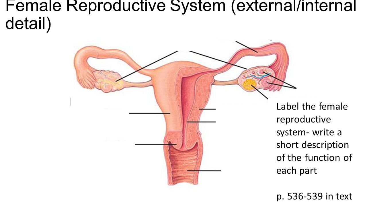 Female Reproductive Anatomy Video Choice Image - human body anatomy