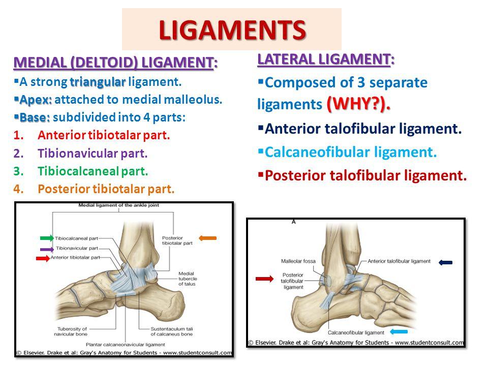 Deltoid ligament anatomy 7318737 - follow4more.info