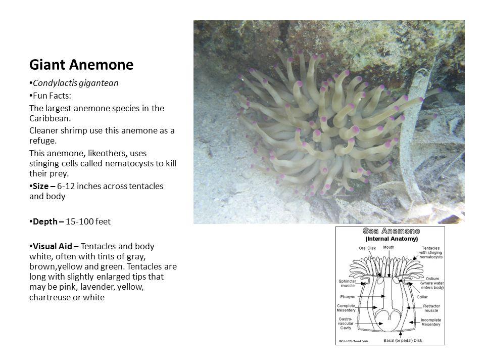 Gemtlich Seeanemone Anatomie Fotos Menschliche Anatomie Bilder