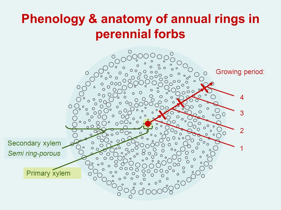 Dendrochronology analysis of annual rings in woody plants ppt phenology anatomy of annual rings in perennial forbs ccuart Images