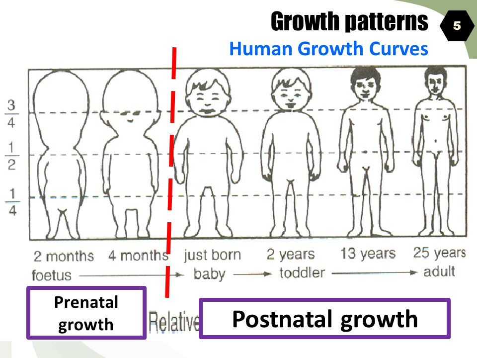 Growth patterns Human Growth Curves 5 Prenatal growth Postnatal growth