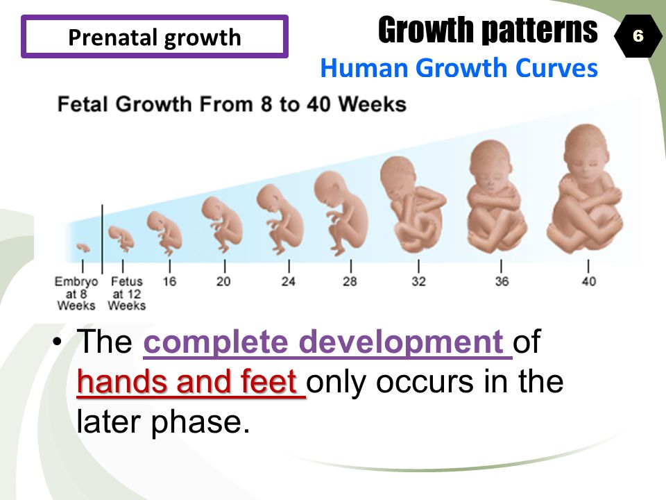 Growth patterns Human Growth Curves. Prenatal growth. 6. The complete development of hands and feet only occurs in the later phase.