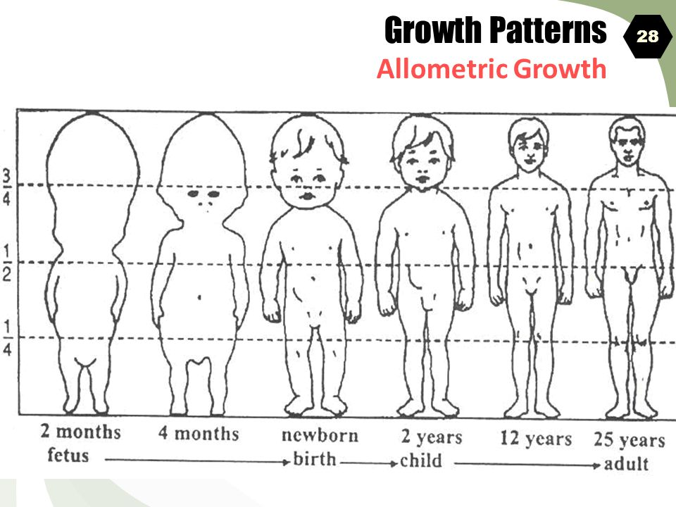 Growth Patterns Allometric Growth 28 ALLOMETRIC GROWTH 38