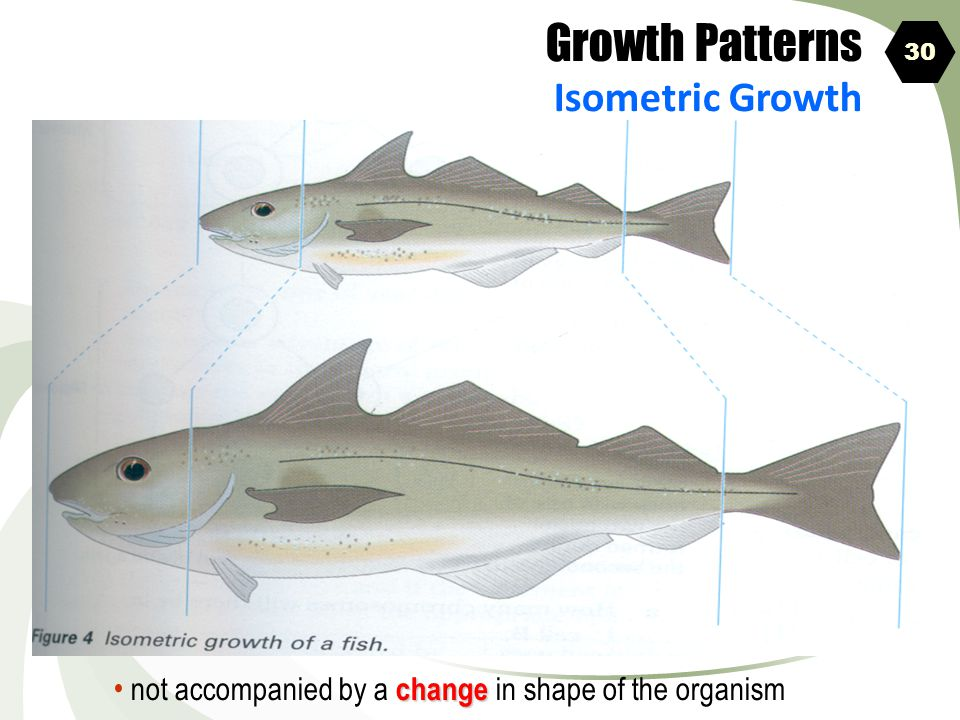Growth Patterns Isometric Growth