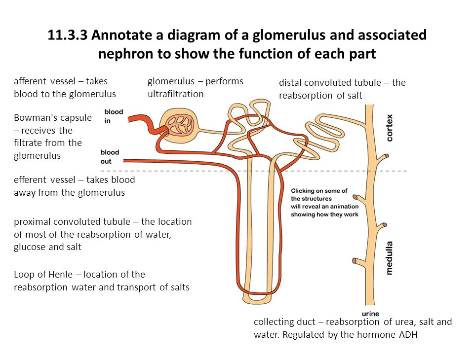 Topic 11 human health and physiology ppt video online download 1133 annotate a diagram of a glomerulus and associated nephron to show the function ccuart Choice Image