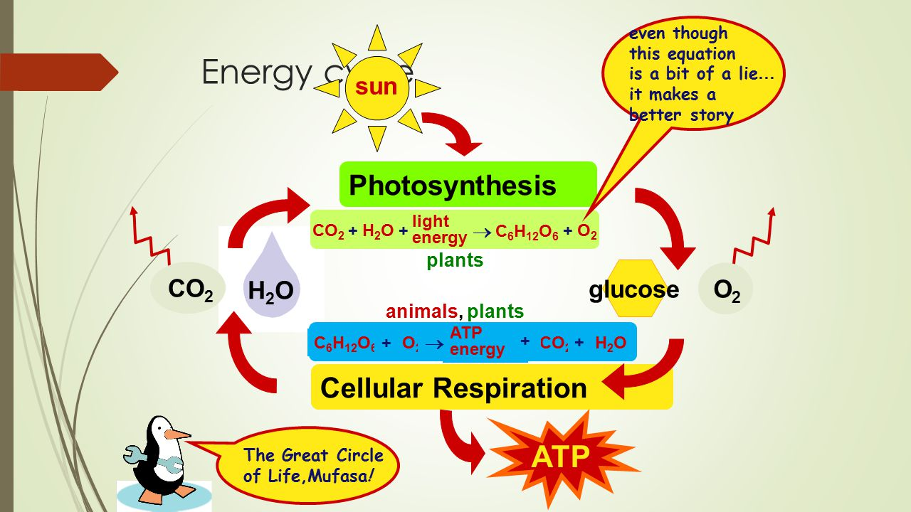 the photosynthesis and respiration cycle Photosynthesis & cellular respiration the carbon cycle the nitrogen  and the experiment revealed the relationship between photosynthesis and cellular respiration.