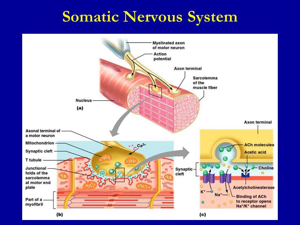 somatic nervous system
