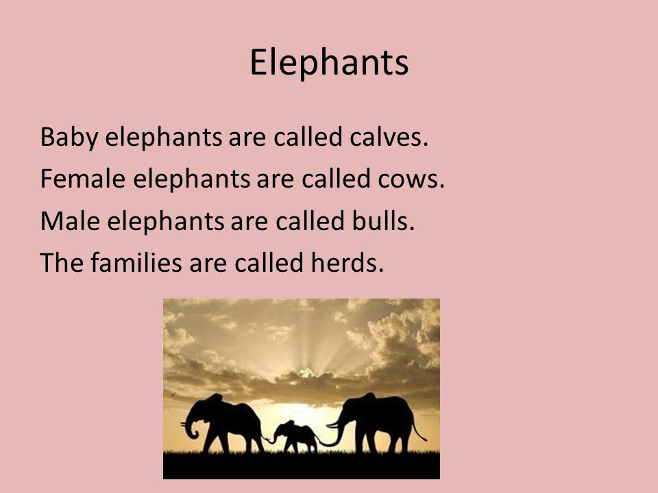 a female adult elephant is called what