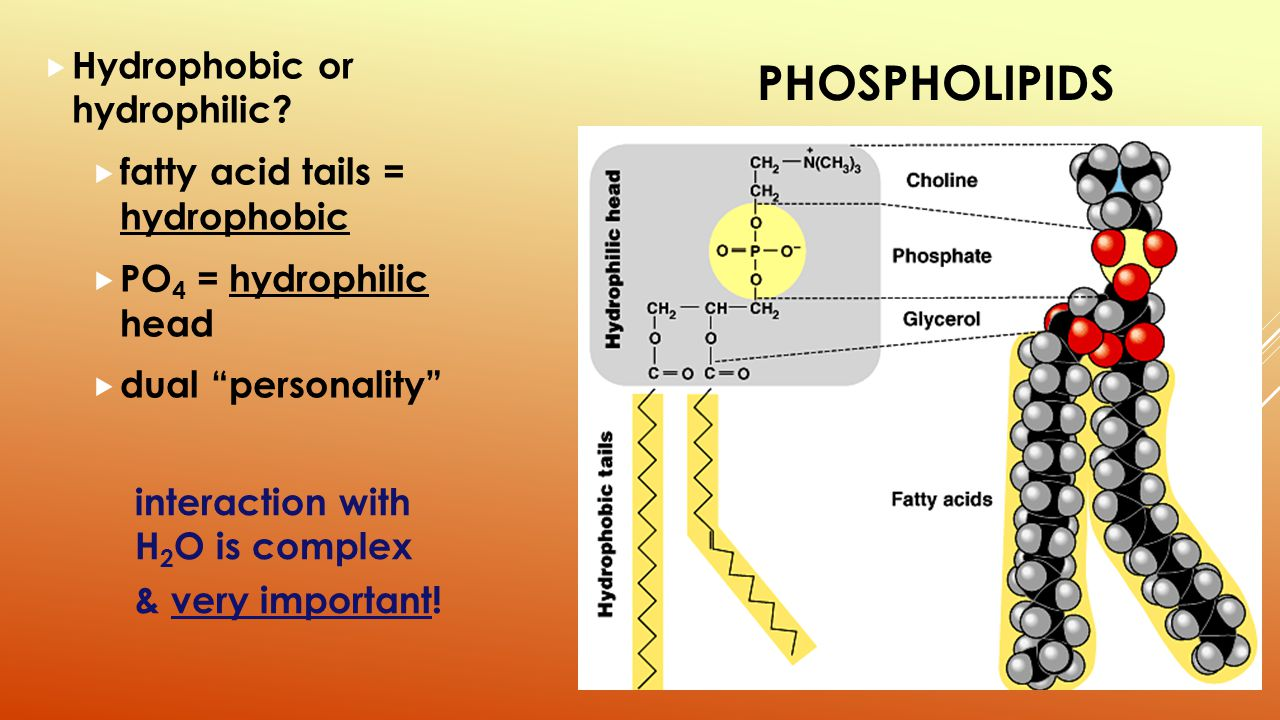 a hydrophilic head Hydrophilic molecules typically have polar groups enabling them to readily absorb or dissolve in water as well as in other polar solvents word origin.
