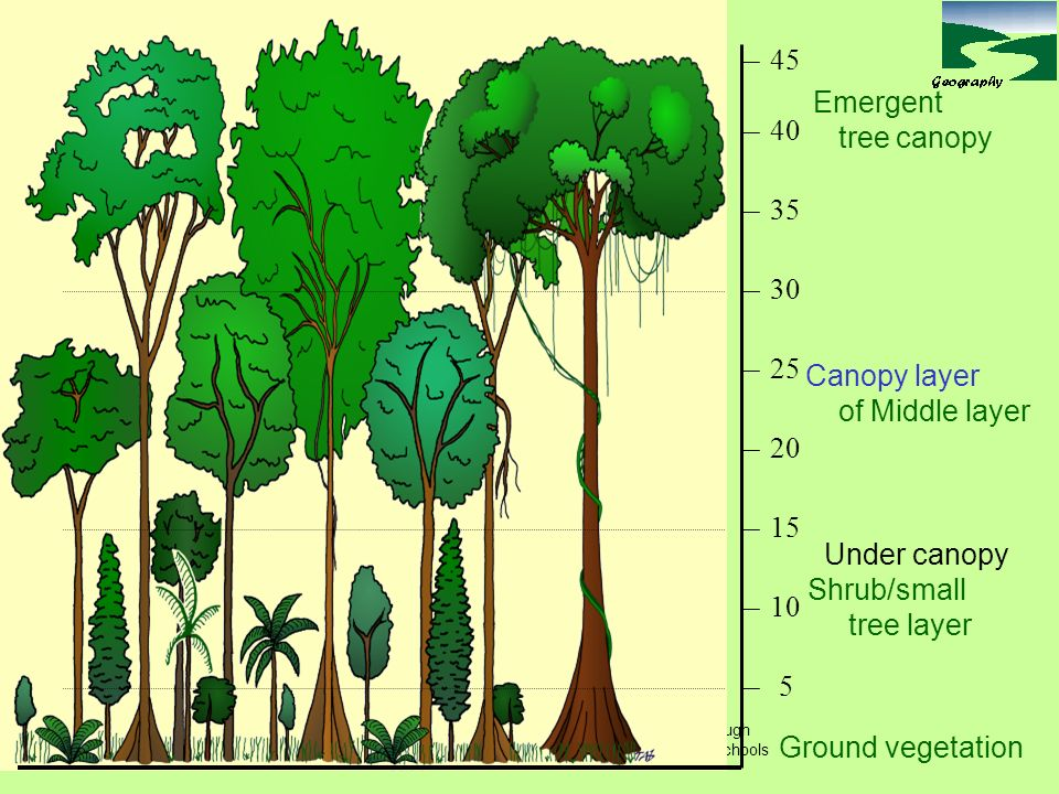 45 Emergent tree canopy 40 35 30 25 Canopy layer of Middle layer 20 15  sc 1 st  SlidePlayer & Tropical rainforest structure LO: To understand the structure of ...