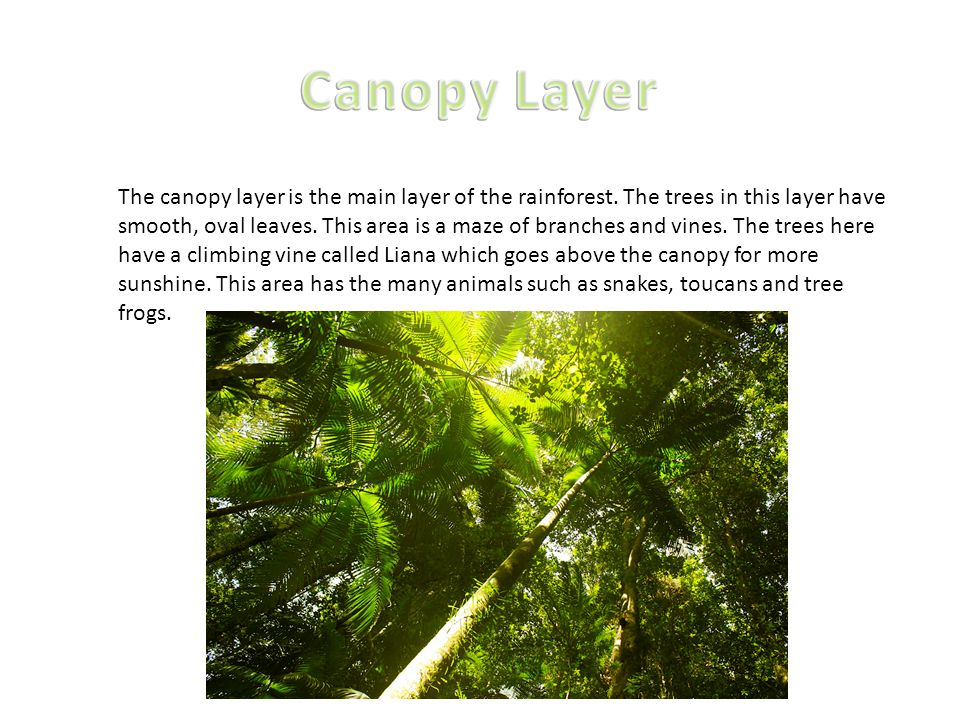 Canopy Layer  sc 1 st  SlidePlayer & Tropical Rainforest By Jibrail and Deniz. - ppt video online download
