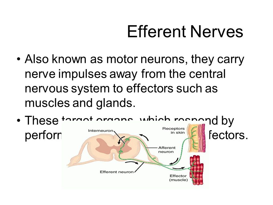 Efferent Nerves Also known as motor neurons, they carry nerve impulses away from the central