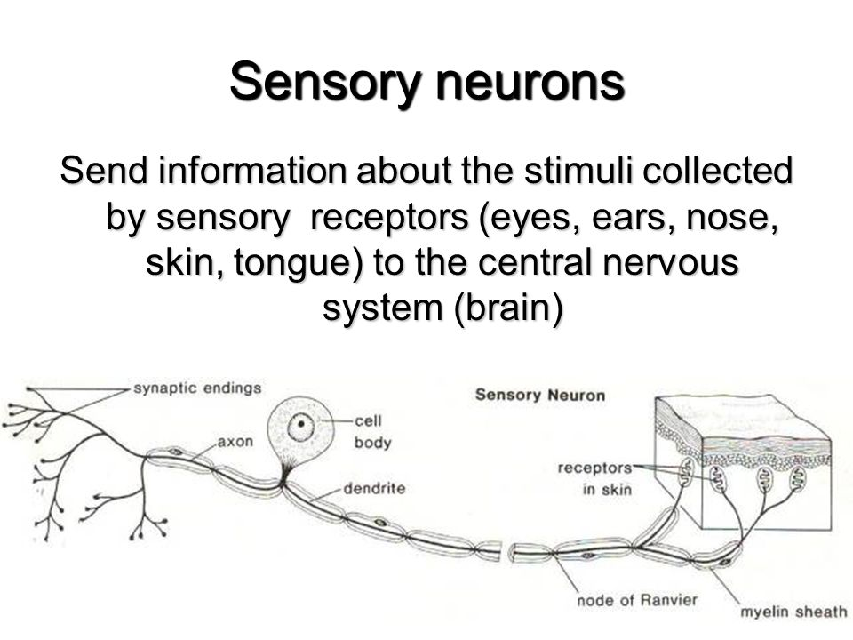 THE STRUCTURE OF THE NERVOUS SYSTEM - ppt video online ...