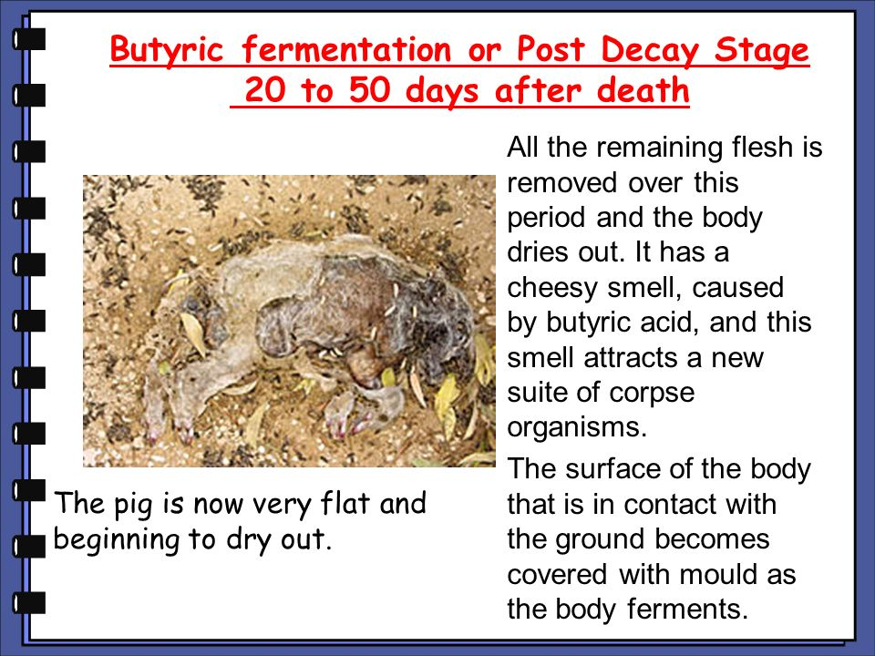 Butyric fermentation or Post Decay Stage 20 to 50 days after death