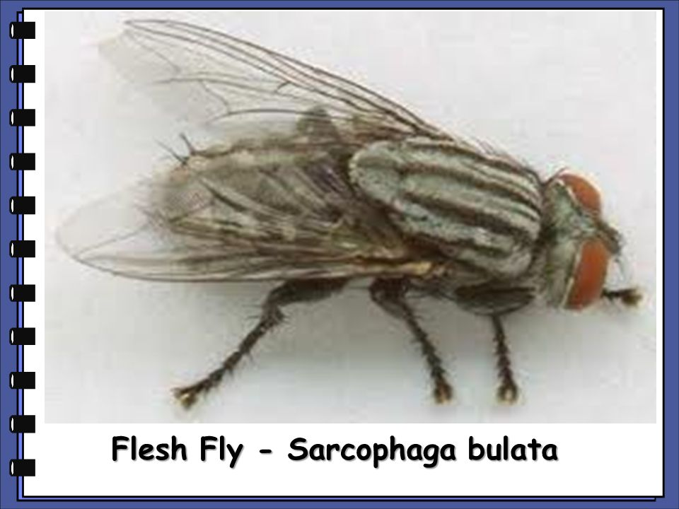 Flesh Fly - Sarcophaga bulata