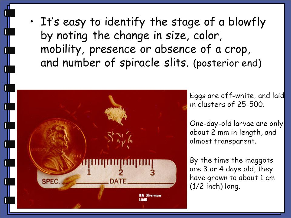 It's easy to identify the stage of a blowfly by noting the change in size, color, mobility, presence or absence of a crop, and number of spiracle slits. (posterior end)