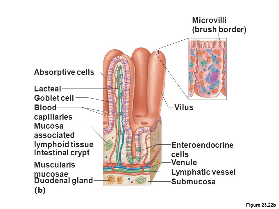 Microvilli (brush border) Absorptive cells Lacteal Goblet cell Blood