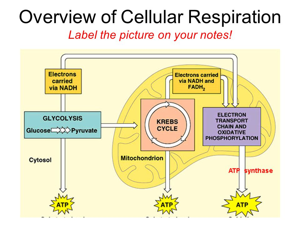 cellular respiration label the diagram answers choice image how to guide and refrence. Black Bedroom Furniture Sets. Home Design Ideas