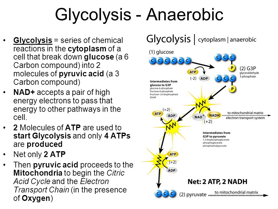 Cellular respiration essential questions ppt video online download glycolysis anaerobic ccuart Image collections