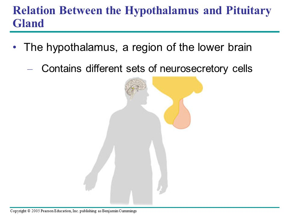 relationship between hypothalamus anterior pituitary and thyroid