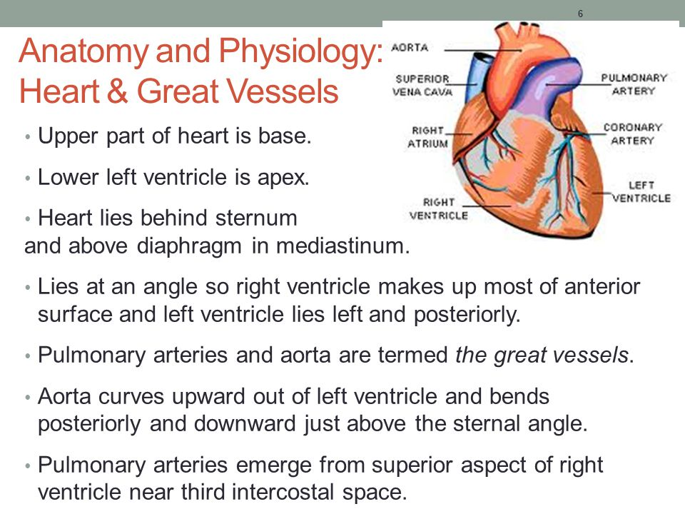 Great vessels of the heart anatomy
