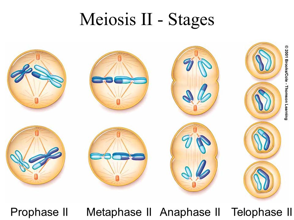 meiosis diagram stages choice image how to guide and refrence. Black Bedroom Furniture Sets. Home Design Ideas
