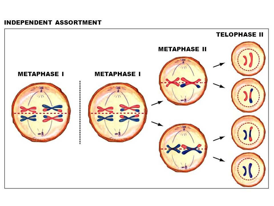 1. Meiosis and chromosome number - ppt video online download