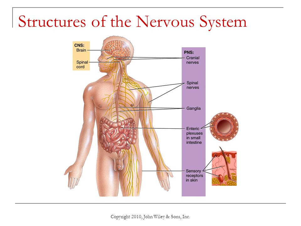 Chapter 9 Nervous Tissue - ppt download