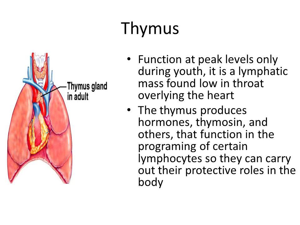 Gro Thymus Anatomy And Physiology Zeitgenssisch Menschliche