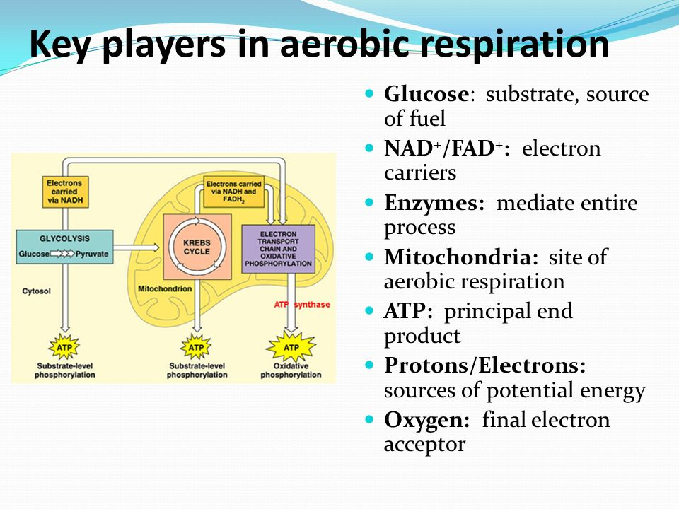 Cellular respiration pp 69 73 ppt video online download key players in aerobic respiration ccuart Gallery