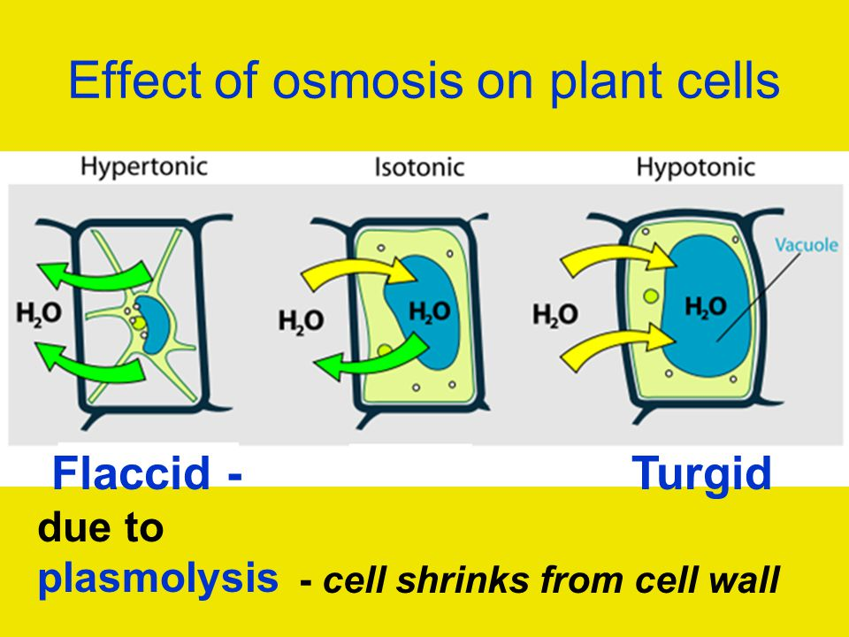 a paper on osmosis plasmolysis and turgor Diffusion and osmosis abstract in this plant cells will undergo the process of increased turgor pressure or plasmolysis  newspaper or other printed paper.