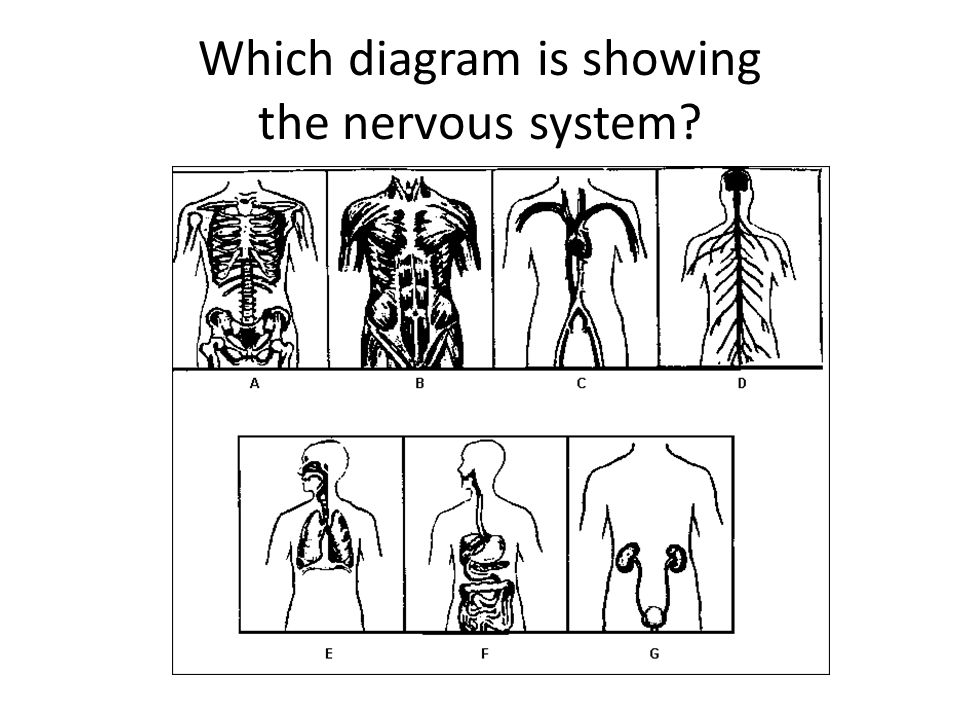 Which diagram is showing the nervous system