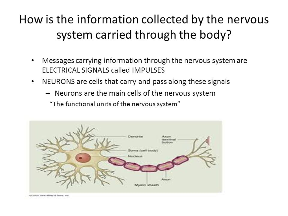 How is the information collected by the nervous system carried through the body
