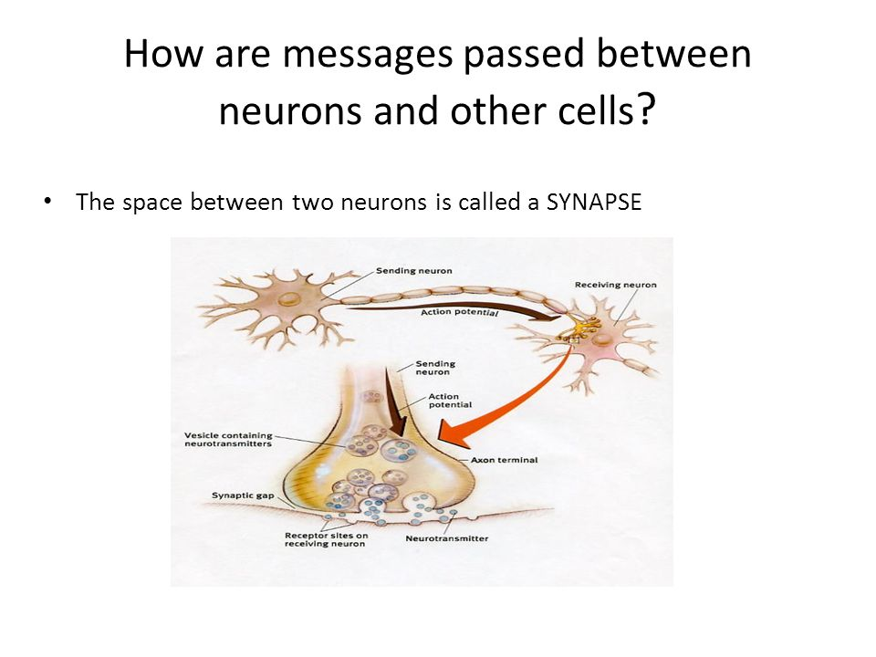 How are messages passed between neurons and other cells