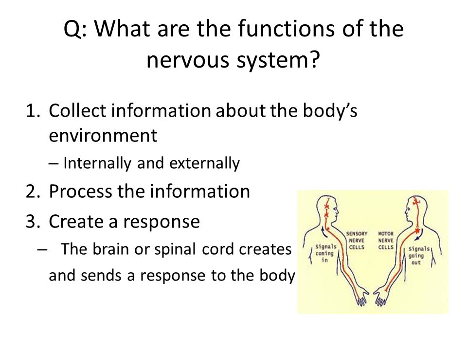 Q: What are the functions of the nervous system