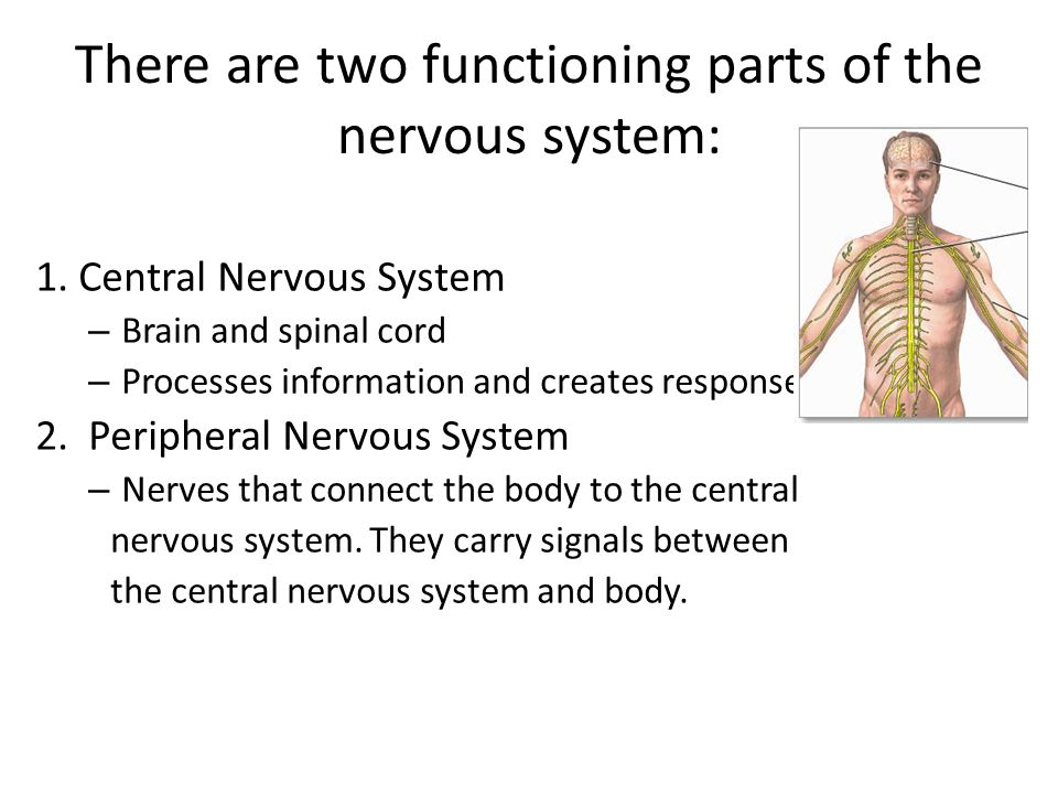 There are two functioning parts of the nervous system: