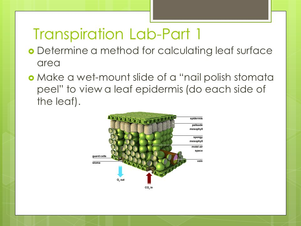 relationship between stomata and transpiration